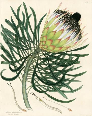 Henry Andrews Botanist's Repository Antique Prints 1797 Protea