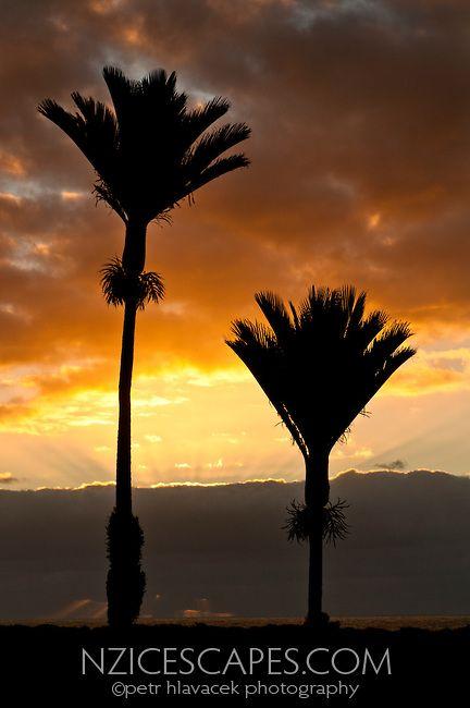 Nikau Palms in Punakaiki, Paparoa National Park, West Coast, New Zealand