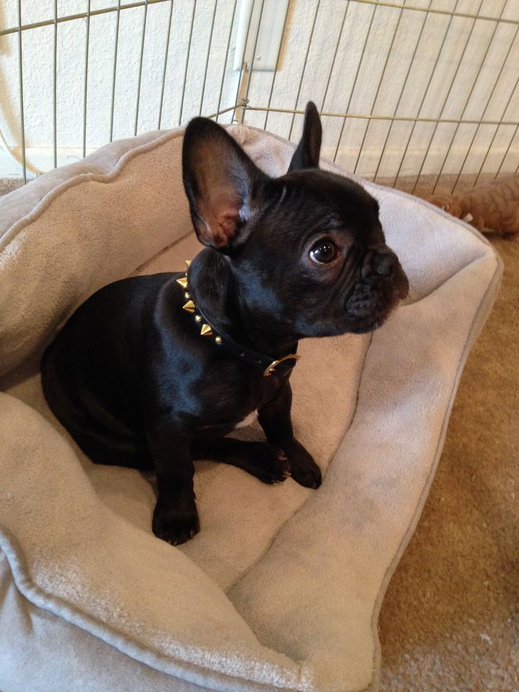 Kima in a Spikes collar. Custom dog collars, Leather dog