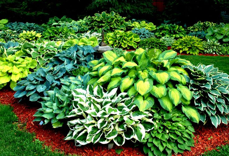 Details about Choice of 60 Different Kinds of RARE Hosta Seeds! 10 Seeds per Pack – Comb. S/H