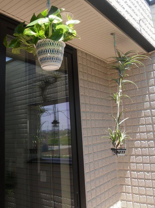 「そらのま」とは、⦅2階リビングの天井を「ひらく」という発想で、そらとゆるやかにつながり、心地よい光や風をとりこんで、室内と同じように使えるオープンエアのマルチスペース。使い方はアイデア次第。リビングにも、ダイニングにも、キッチンにも、庭にもなる、自由な空間です。⦆・・・旭化成ホームズのHPより引用DLKをちょっと外まで広げました的なスペースでしょうか。ヘーベルハウスを選んだ時から、この「そらのま」が気に入り是非取り入れようと決めていました。今は、ただ観葉植物を置いているだけですが、今後小さなイスやテーブルを置いていこうと思っています。今日は久しぶりに園芸店に行ったので、ハンギングフックに吊るせそうな植物を買ってきました。ポトスハンギングの定番ですね。ツルが下垂してくると雰囲気が出てくるでしょう。チランジア・フ...「そらのま」を作っていこう