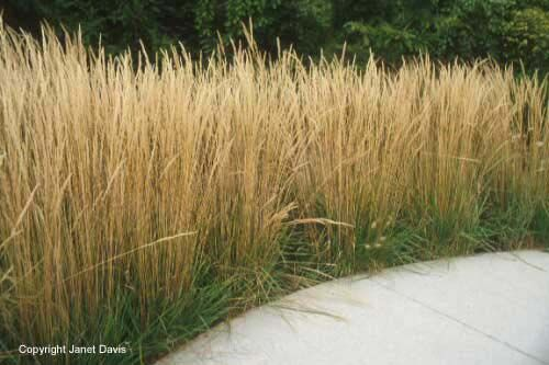 calamagrostis x acutiflora 39 karl foerster 39 is the best grass for emphasizing vertical lines in a. Black Bedroom Furniture Sets. Home Design Ideas