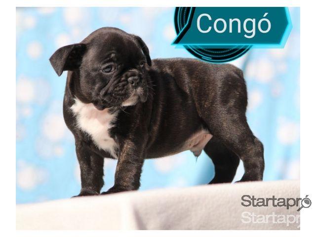 Eladó francia bulldog babák  06305000156