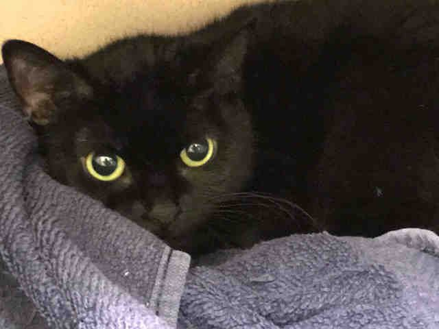 Salem Is An Adoptable Domestic Short Hair Searching For A Forever Family Near Denver Co Use Petfinder To Find Adoptable Pets I Animal Shelter Dog Cat Animals