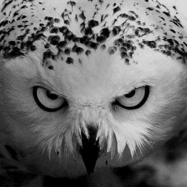Owl - #owl #predator #bird