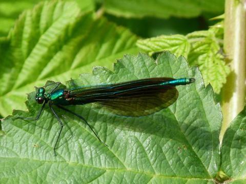 Beautiful Demoiselle: the beautiful maiden   Nature Notes