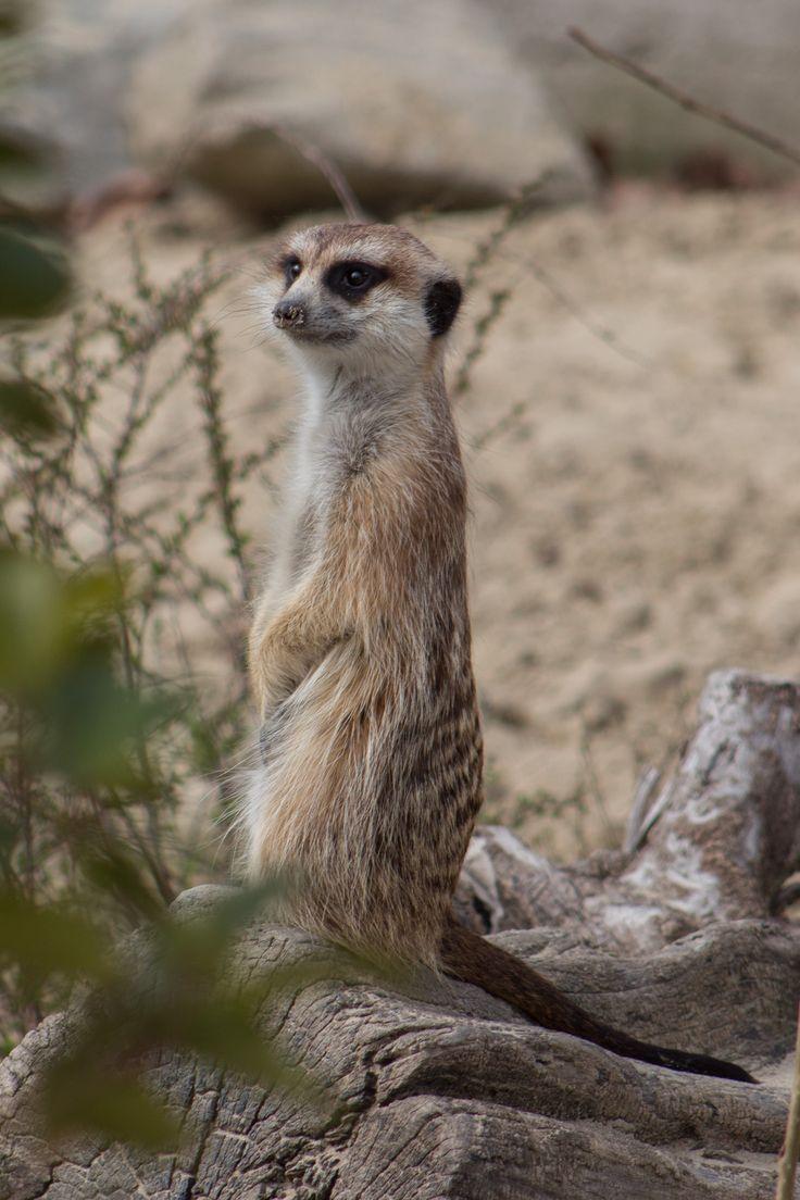 Szurikáta. Slender-tailed meerkat.