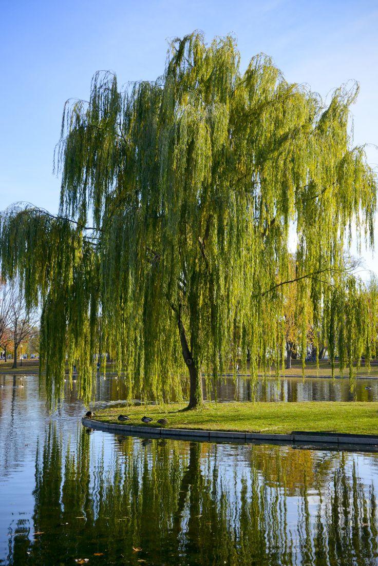 самом ива дерево фото фарисеями был