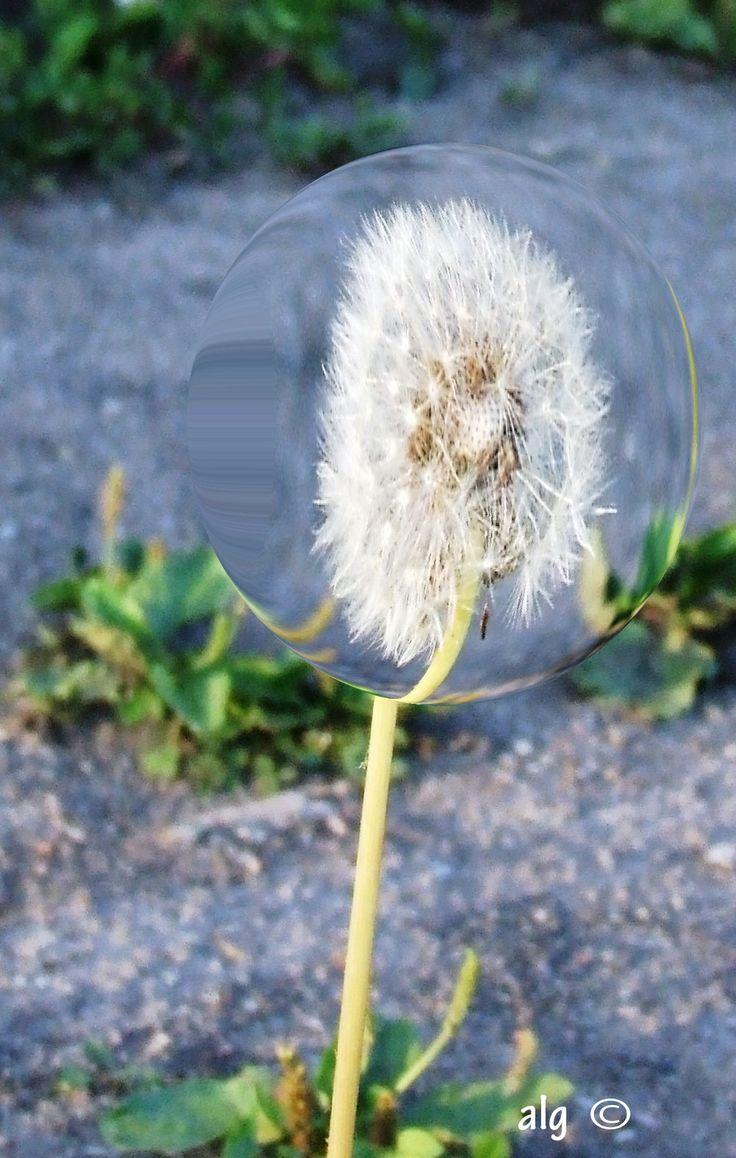 Dandelion can be ... fun!