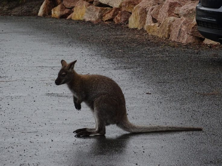 Wineglass Bay Track car park - There are a couple of wallabies that seem to frequent this car park.