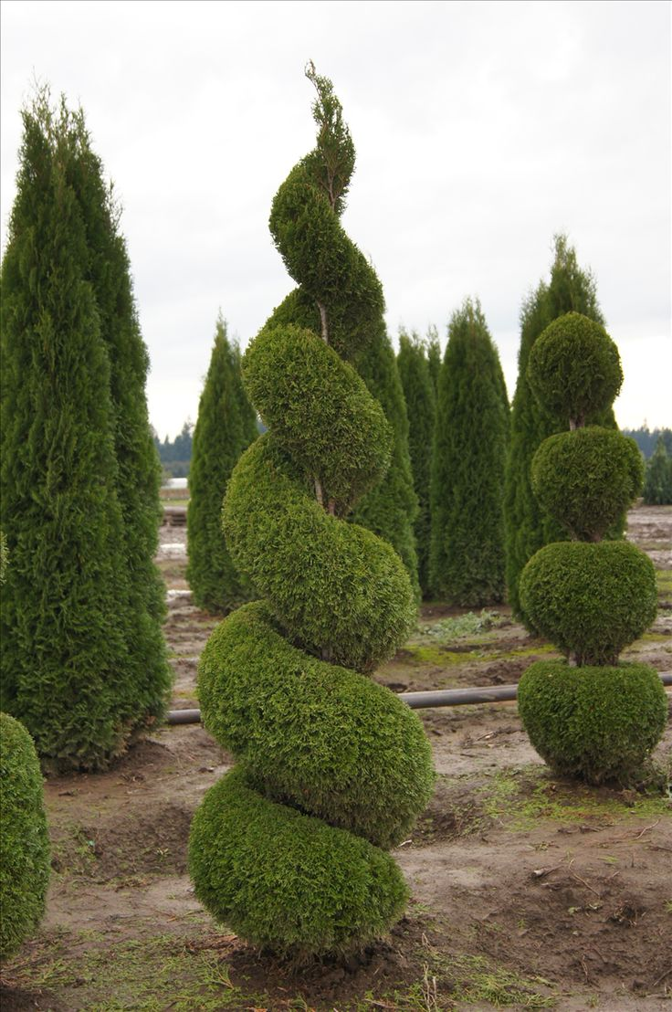 Thuja occidentalis 'Smaragd'  spiralled topiary