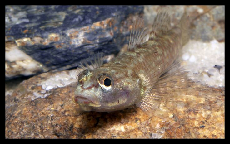 17 best images about freshwater gobies on pinterest for Freshwater goby fish