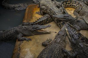 Crocodiles are photographed at a crocodile park in Medan, Indonesia