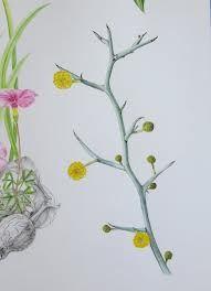 wattle drawing