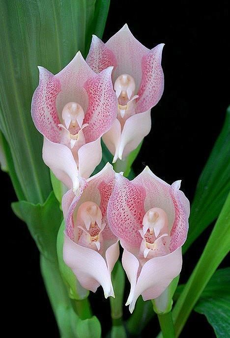 ORCHIDS: Praying Angels Orchids