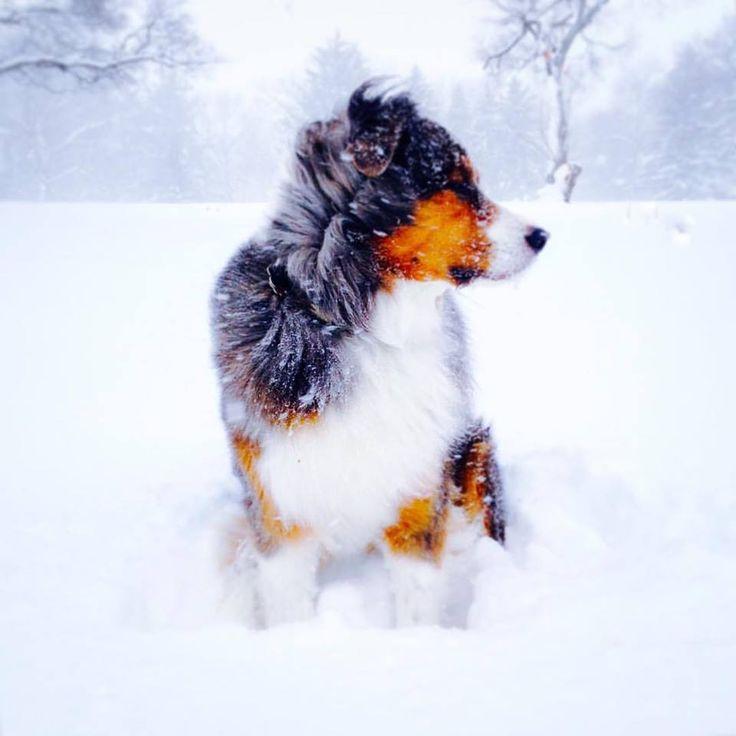 My friend's Australian Shepard Trip   http://ift.tt/2iSip0C via /r/dogpictures http://ift.tt/2irABgM  #lovabledogsaroundtheworld