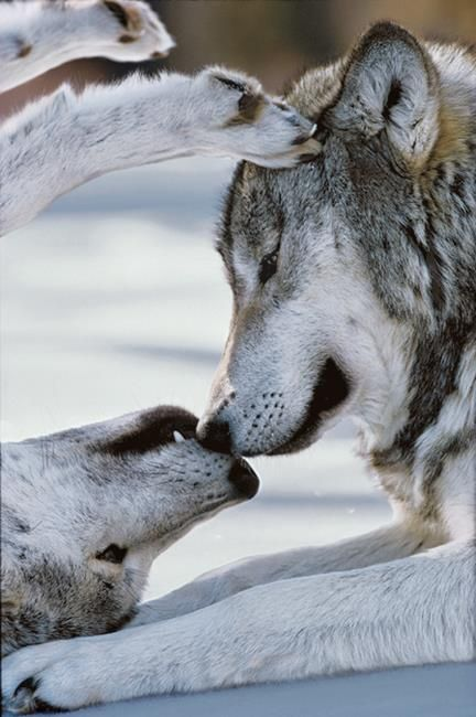 Wolves just being wolves.