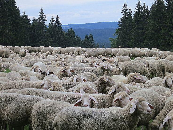Ekologiczny wypas owiec.