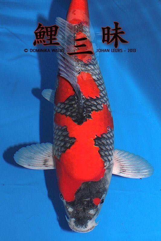 105 best images about koi fish on pinterest photos for Koi zen facebook