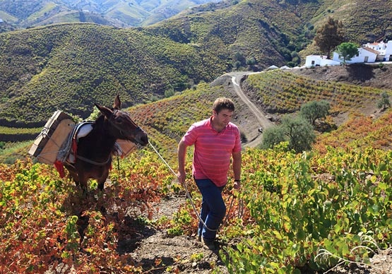vendimia-Axarquia #viticultura heróica