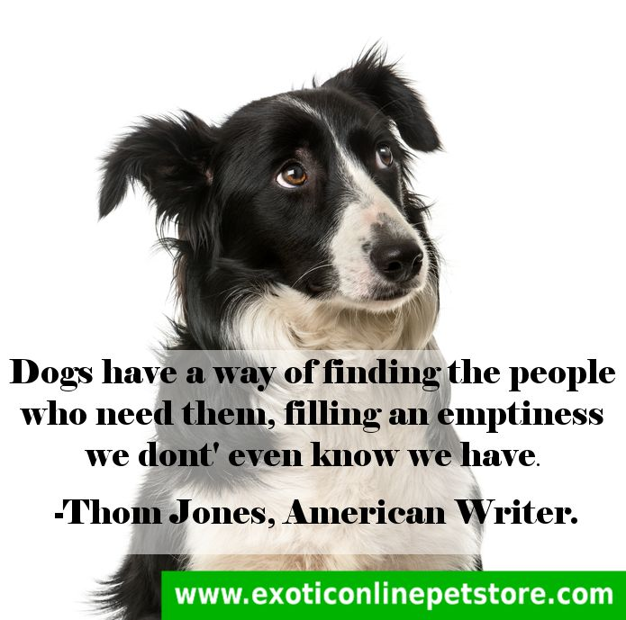 """Dogs have a way of finding the people who need them, filling an emptiness we dont even know we have."" -Thom Jones  #Thom #doglove #dogs #ThomJones #collie #emptiness #doglover http://www.exoticonlinepetstore.com/"