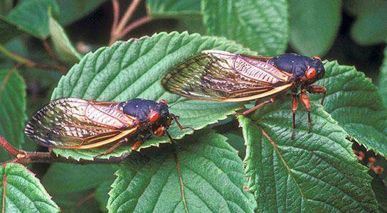 Periodical Cicadas Manipulate the Populations of Predatory Birds ...