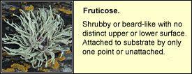 fruticose