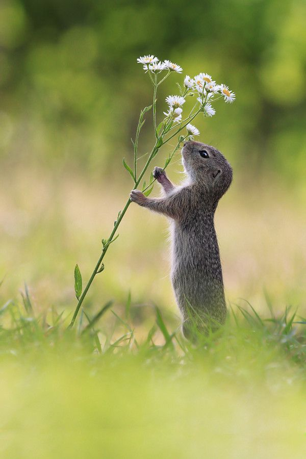 Looking for the perfect treat! The squirrel stands up on its hind legs, grasping the stem with its paws and takes a sniff if the daisies. The curious creature couldnt resist sniffing some local Erigeron flowers as it made its way through fields near Vienna, Austria.