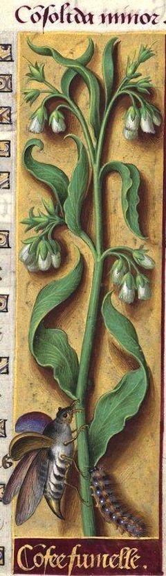 Confee fumelle - Consolida minor (Symphytum officinale L. flore albo = consoude à fleurs blanches) -- Grandes Heures d'Anne de Bretagne, BNF, Ms Latin 9474, 1503-1508, f°102r