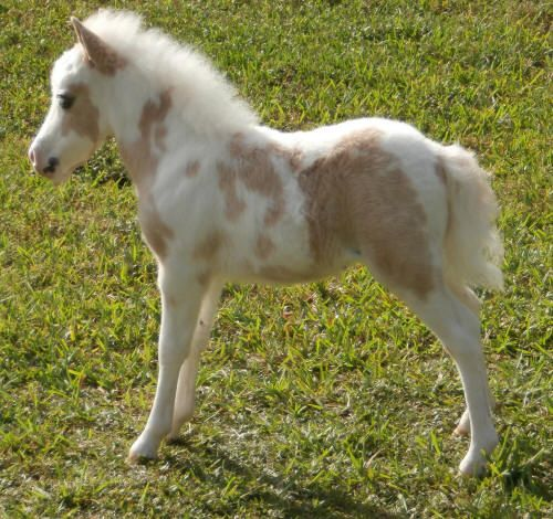 miniature horses for sale - page 243