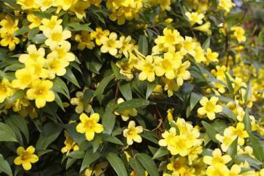 Gelsomino primulino  Il Jasminum primulinum / Jasminum mesnyi (Gelsomino primulino / Gelsomino giapponese) è una pianta forte arbustiva rampicante sempreverde. Si tratta di una bellissima specie di Gelsomino con foglie composte color verde intenso lucido. I fiori compaiono dalla primavera all'estate e sono di color giallo brillante.