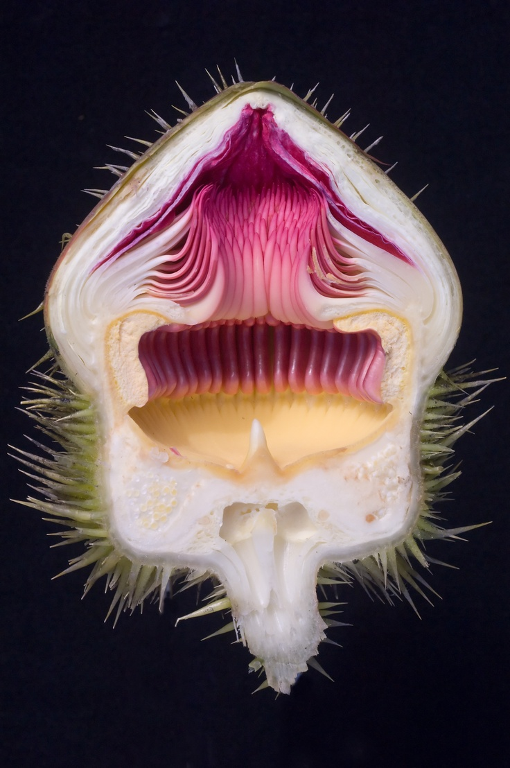 Cross section of pink waterlily flower at Longwood Gardens