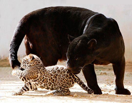 детеныш леопарда - Поиск в Google