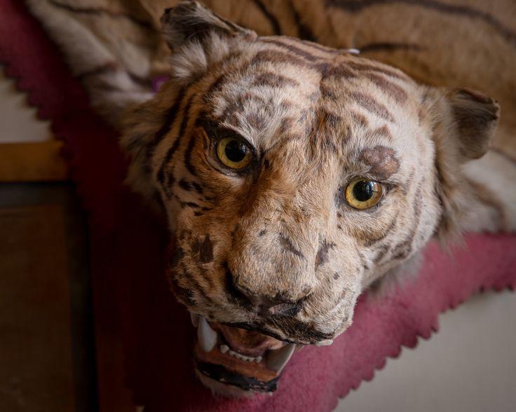 Day 45 - Tiger
