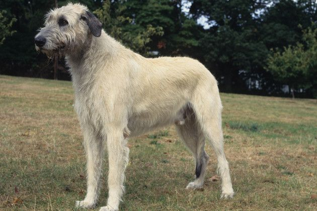 Irish Wolfhound -so cute and scraggly looking :)