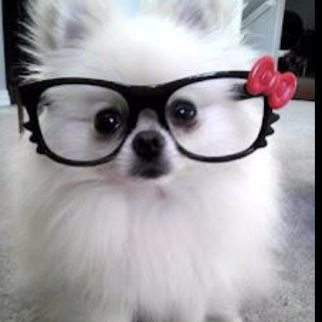 My sis's dog posing with my HK glasses. lmao! He is so cute, I love him to death!