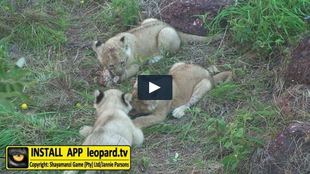 Our lion cubs are getting bigger by the day. Here is a video of the cubs taken from a few months to over a year old