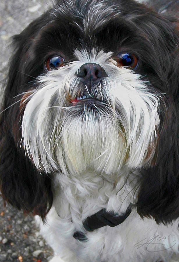 Modern Paintings Of Shih Tzus Shih Tzu Photograph Shih Tzu Dog