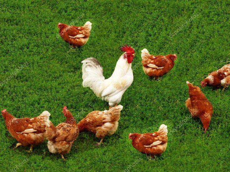 Mejora productividad de gallinas