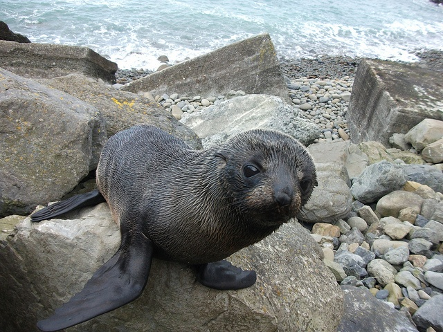 Very curious baby seal just out of Kaikoura.
