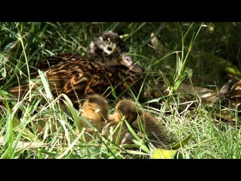 Video of a Laysan Duck (Anas laysanensis, aka Laysan Teal) and five chicks taken during an Oceanic Society expedition to Midway Atoll. The Laysan Teal is the most endangered duck species in the U.S. They have been reintroduced to Midway, where they have been doing well.
