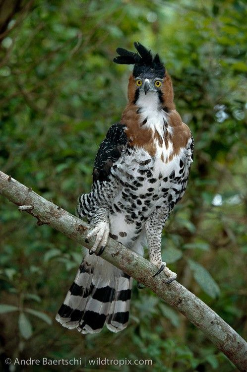 The Ornate Hawk-Eagle (Spizaetus ornatus) is a bird of prey from the tropical Americas. Like all eagles, it is in the family Accipitridae. This species is notable for its vivid colors, which differ markedly between adult and immature birds. (photo by andre baertschi)