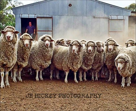 Snap shot from central Victoria just before shearing. Photo was taken by at JE hickey rural photos.