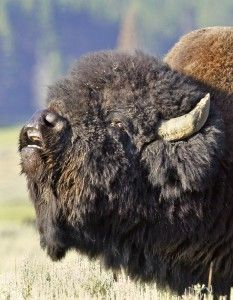 the bull bison talking to his herd.
