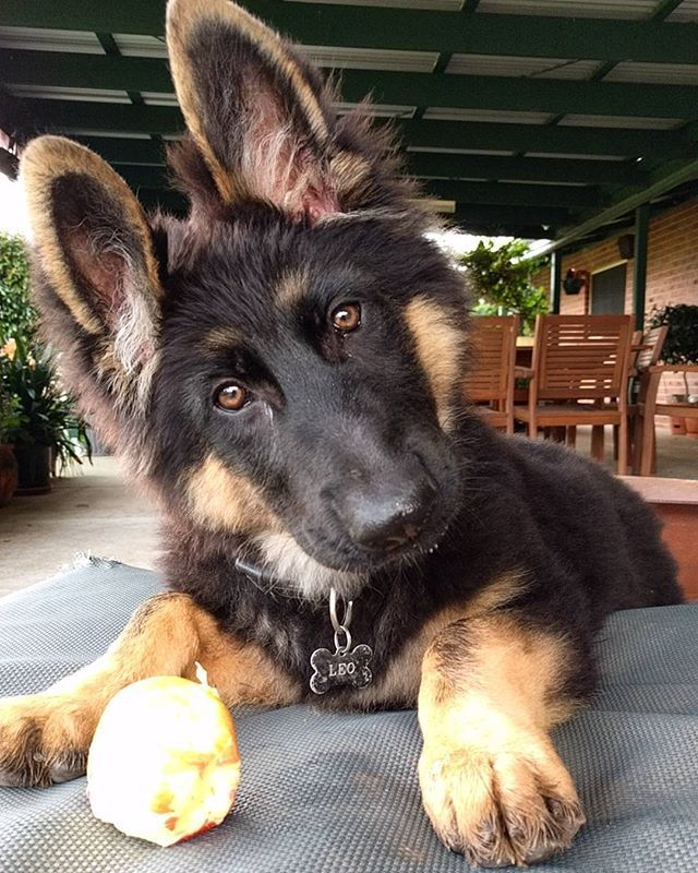 What You Never Seen A Puppy Eat An Apple Before Leonardothegsd
