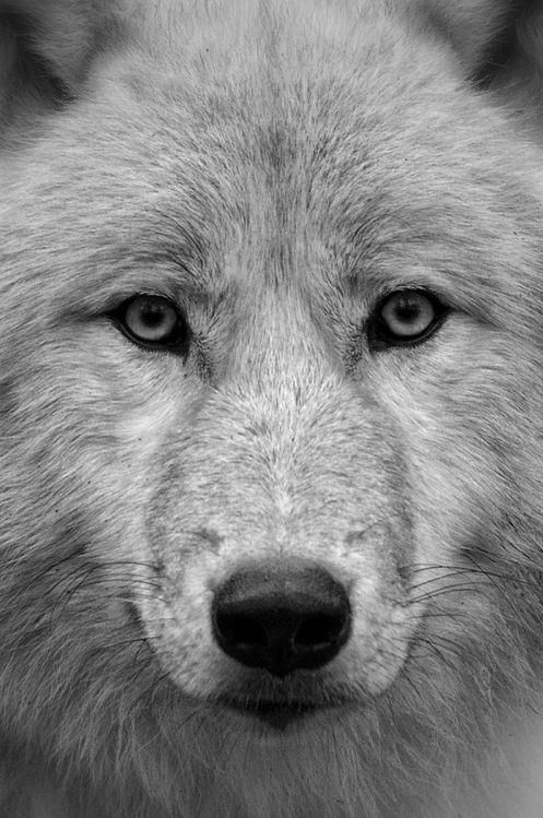 front face wolf | Wolves | Pinterest | Wolves and Faces