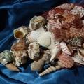 SaltwaterObsession.com: Gyromitra, Seashells Note, Salebuy Seashells, Seashells Bulking Seashells, Seashells Bulkseashel, Sales Buy Seashells