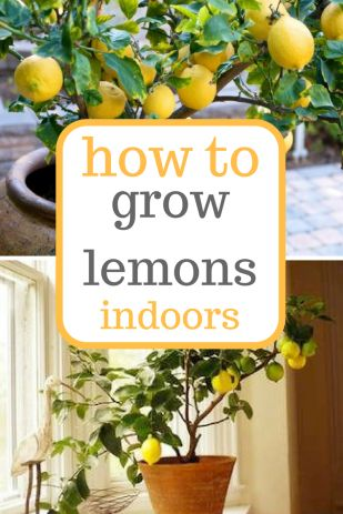 Learn how to grow lemons indoors! Growing Lemons, Growing Lemons Indoors, Indoor Gardening, Indoor Gardening Tips and Tricks