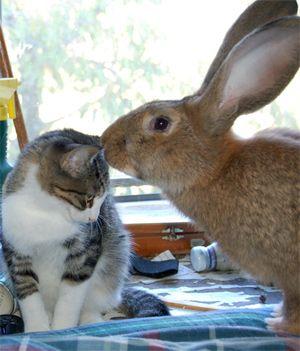 F Giant Rabbit Flemish Giant rabbit |...
