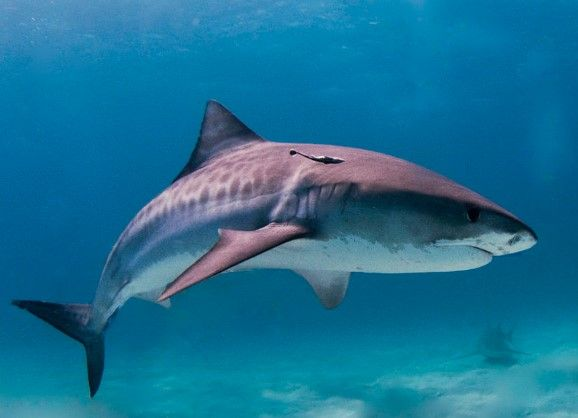 Classifying the many different types of sharks is not as easy as you might think. There are actually four hundred forty different species of shark.